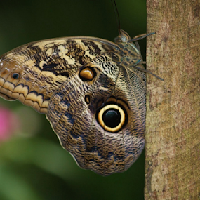 South American Forest Giant Owl Butterfly by Karen Coston - Animals Insects & Spiders ( camoflague, butterfly, prey, in disguise, amazon, south american forest giant owl butterfly,  )