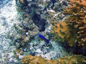 Photo: Centropyge bispinosa (Coral Beauty Angelfish), Naigani Island, Fiji