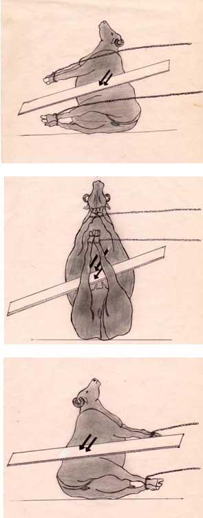 El enfoque para la corrección de la torsión uterina en búfalas utilizando el método de Schaeffer.