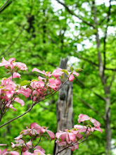 Photo: Pink dogwoods in the forest at Hills and Dales Park in Dayton, Ohio.