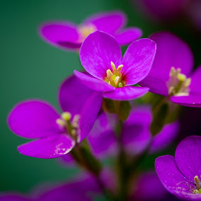 Tiny Flowers by Richard States - Flowers Flowers in the Wild ( macro photography, violet, tiny flower, flower,  )