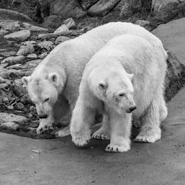 Polar by Garry Chisholm - Black & White Animals ( polar bear, mammal, nature, garry chisholm )