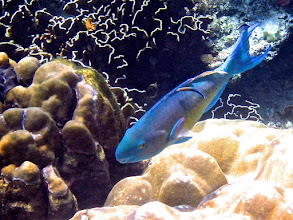 Photo: parrotfish being cleaned by two bluestreak cleaner wrasse