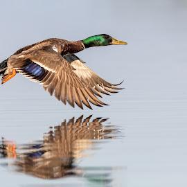 Mallard Duck by Carl Albro - Animals Birds ( duck, flying, bird, water fowl, mallard, mallard duck )