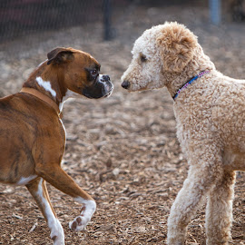 by Jim Jones - Animals - Dogs Playing ( boxer dog, dogs playing, dogs, dog park, dog )