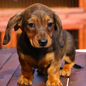 I'm Not Sure About This! by Chrissie Barrow - Animals - Dogs Puppies ( pup, feet, table, claws, tail, portrait, eyes, red, pet, short haired, dachshund (miniature smooth), ears, fur, brown, puppy, legs, dog, nose, tan,  )