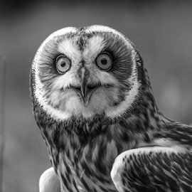 Bright eyes by Garry Chisholm - Black & White Animals ( raptor, owl, bird of prey, nature, eared, short, garry chisholm )