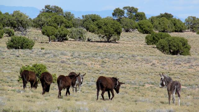 Wild burros at Rattlesnake Flat