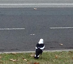 Photo: Day 6: Australian magpie