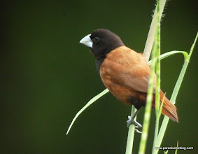 Photo: Chestnut Munia, Sepilok