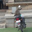 Bonnet Macaque unique behaviour