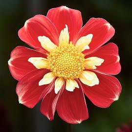 Dahlia 8948~ by Raphael RaCcoon - Flowers Single Flower