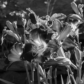 in sunlight by Petrina Grimes - Black & White Flowers & Plants ( flowers, sunlight, plants, black and white, summer )