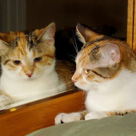 Callie in the Mirror by Kimberly Gibson - Animals - Cats Portraits ( calico, reflection, cat, cat portrait, calico cat,  )