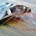 Fasciolated Melipotis
