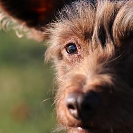 by Carola Mellentin - Animals - Dogs Portraits (  )