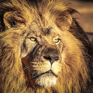 Lion closeup.jpg