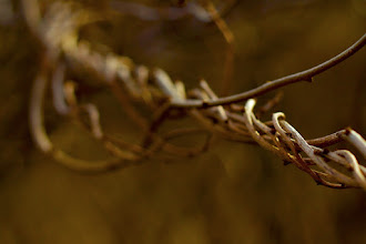 Photo: Ties That Bind Even in death it won't loosen its grip.  #365Project curated by +Simon Kitcher, curator to the stars