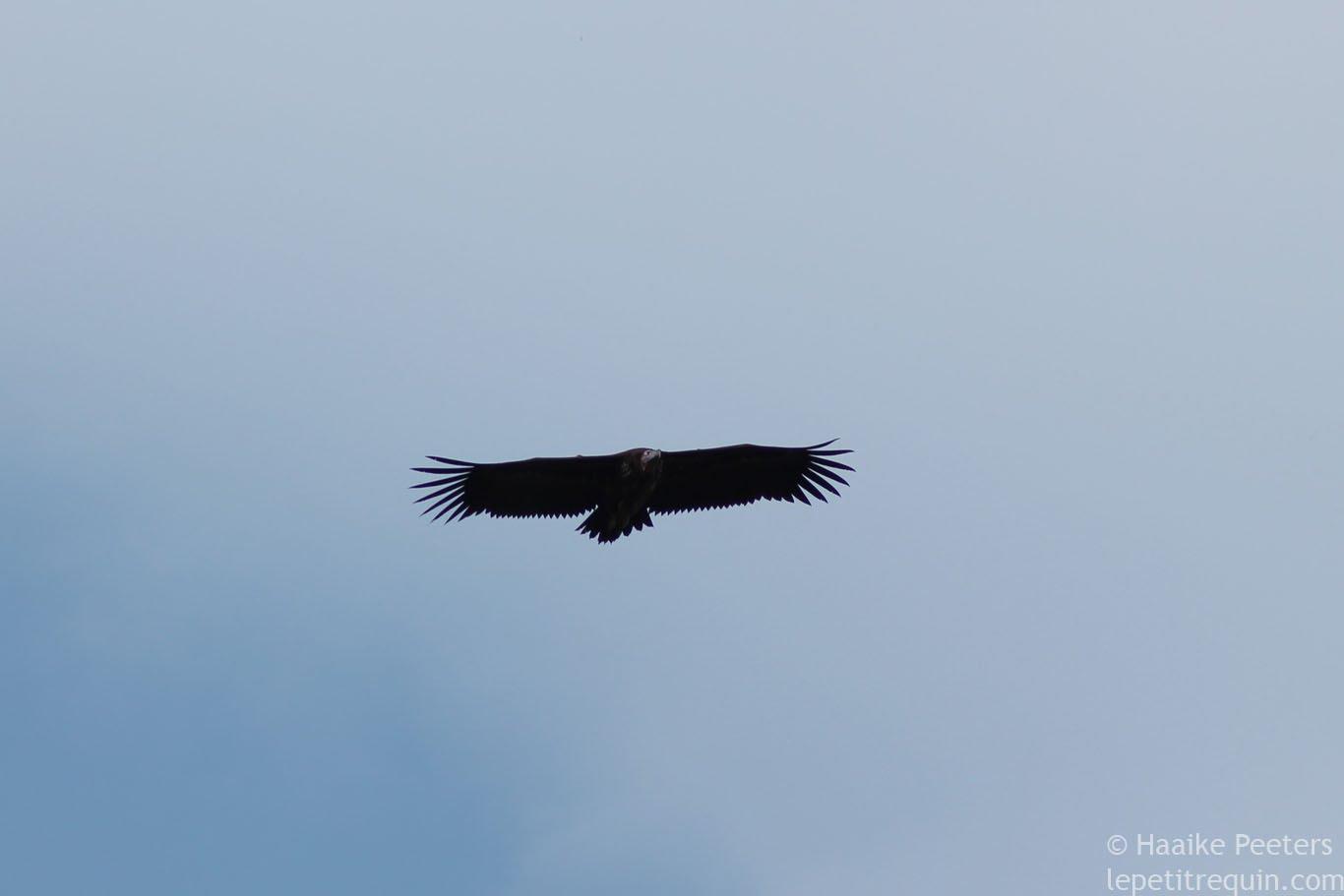 Vulture (Le petit requin)