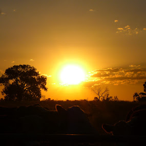 perfection by Sophie Bourne - Landscapes Sunsets & Sunrises ( fence, sky, sunset, trees, cows )