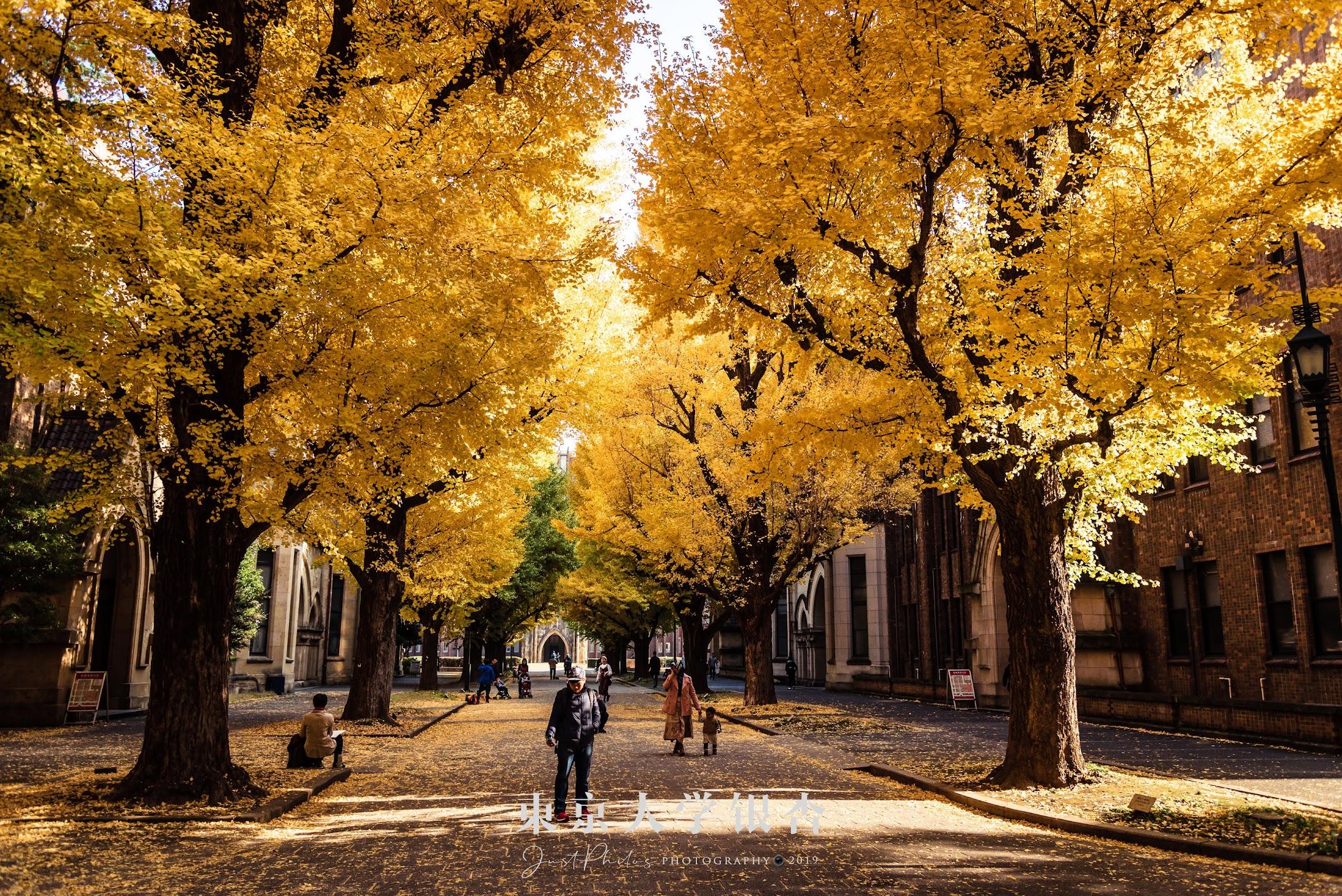 本鄉校區內安田講堂前的銀杏並木,非常吸睛。