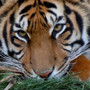 Tigre 7.JPG