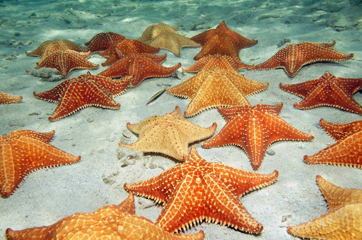 Cube-Starfish-on-Ocean-Floor.jpg - View starfish while snorkeling on a Fathom cruise to Cuba.