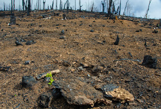 Photo: Despite Cal Fire's best efforts, ceanothus remains and resprouts.