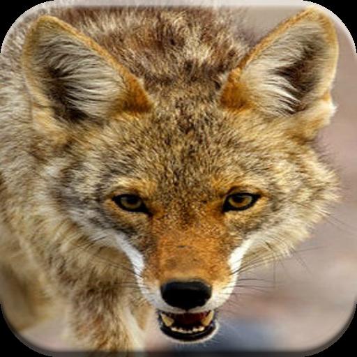 狼狩猎通话 運動 App LOGO-APP試玩