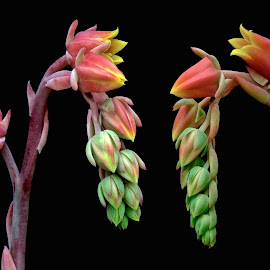 Succulent flowers by Jim Downey - Flowers Flower Buds ( red, pink, green, black, yellow )