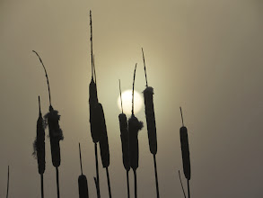 Photo: 20 Jan 14 Priorslee Lake Wintry scene: Greater Reedmace [Typha latifolia] (aka bulrushes and, in the US, cattails) against the misty sun. (Ed Wilson)