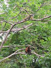 Photo: A howlermonkey and an iguana share a tree.