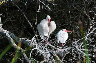 Photo: Preening time for ibises