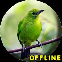2020 Suara Burung Cucak Ijo Mp3 Android App Download Latest