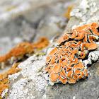 Rock-posy Lichen