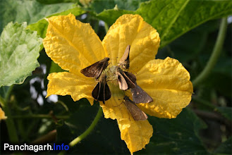 Photo: Buterflies on Lau ful (Bottle gourd flower)
