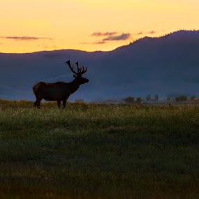 Elk in Twilight by Shaun Schlager - Animals Other Mammals ( field, mountains, bison range, antlers, montana, elk, sunset, twilight, rack, valley, bull )