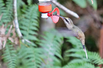 Photo: Long-tailed Hermit