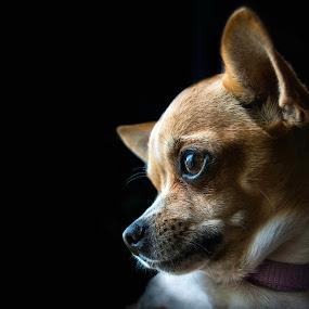Sight  by Gordana Kvajo - Animals - Dogs Portraits ( dog, portrait )