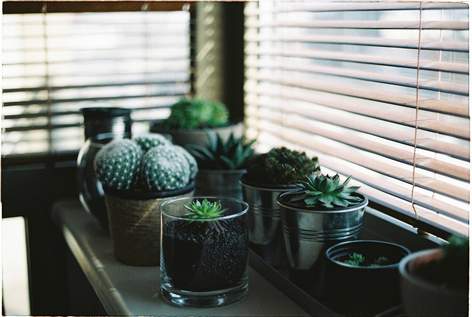 Cacti and succulent plans sitting on a window ledge