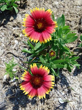 Photo: Gaillardia, fire wheel or blanket flower is a native wildflower and is a habitat for insects.