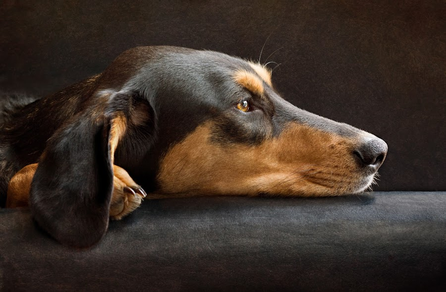Greek Hare Hound by Linda Johnstone - Animals - Dogs Portraits ( black background, dog on sofa, natural light, dogs, rescue, black & tan dog, thoughtful, greek hare hound, portrait )