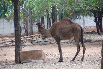 Photo: At the temple are found a variety of species of animals, including this camel....