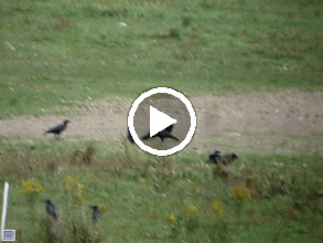 Video: VIDEO - Crows harassing a juvenile Turkey Vulture. The group included a young-of-the-year crow, YE BART08. 10 Sep 2008.