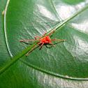 Long-legged Velvet Mite