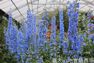 Photo: 拍攝地點: 梅峰-溫帶花卉區 拍攝植物: 飛燕草 拍攝日期:2012_07_30_FY