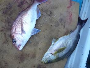 Photo: 真鯛とイサキのダブル! いいぞー!