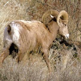 BIG HORN by Cynthia Dodd - Novices Only Wildlife ( animals, nature, ram, wildlife, sheep, bighorn )