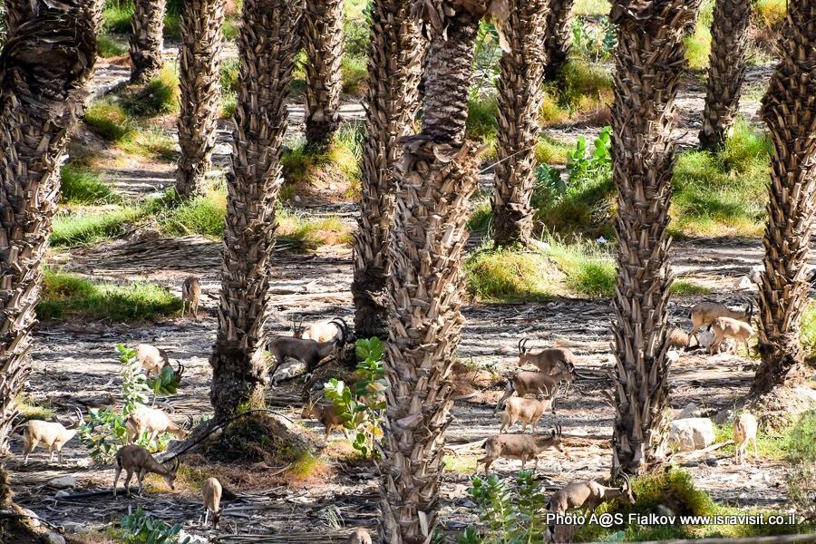 Нубийские горные козлы в пальмовых рощах Иудеи. Экскурсии в Израиле.