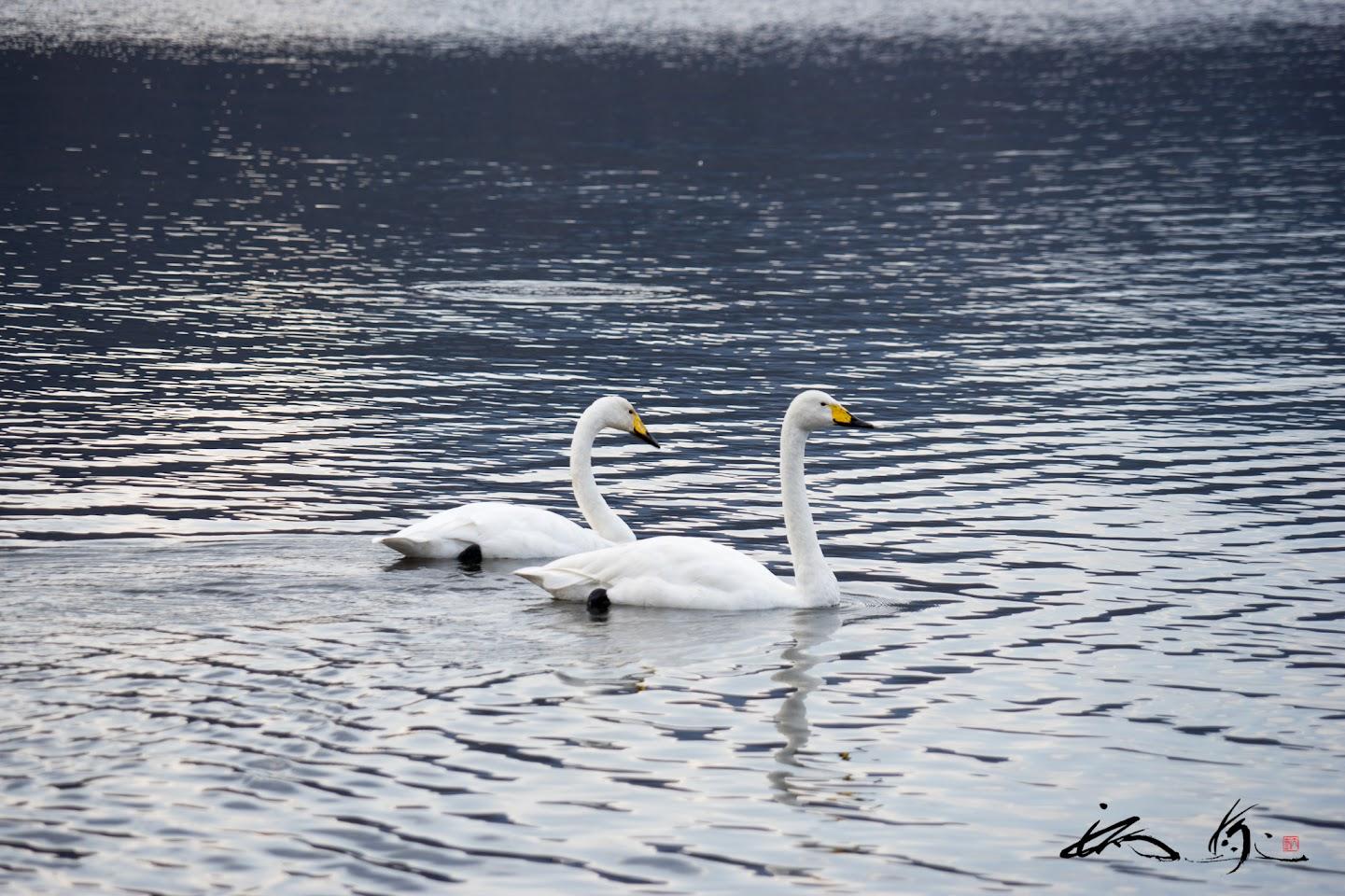 寄り添う白鳥たち